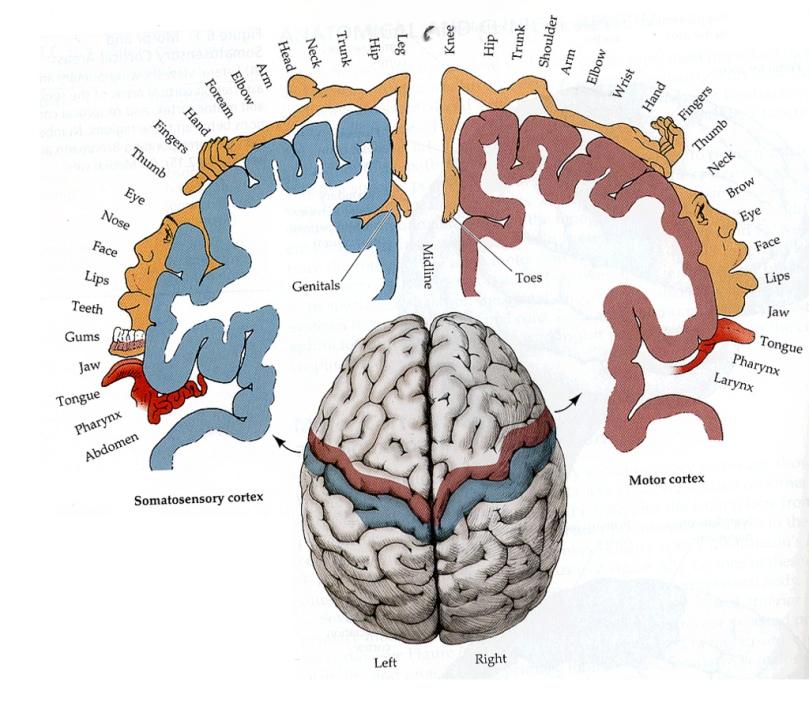 brainmap_Homunculus
